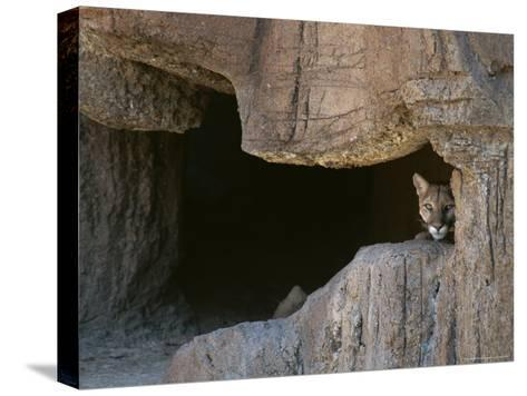 Mountain Lion Peeks Out of a Cave Opening-Tom Murphy-Stretched Canvas Print