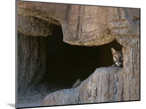 Mountain Lion Peeks Out of a Cave Opening-Tom Murphy-Mounted Photographic Print