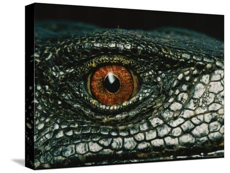 Close View of the Eye of a New Species of Monitor Lizard-Tim Laman-Stretched Canvas Print
