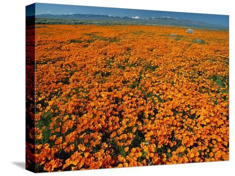 Waves of California Poppies Reach Towards Snow-Covered Mountains-Jonathan Blair-Stretched Canvas Print