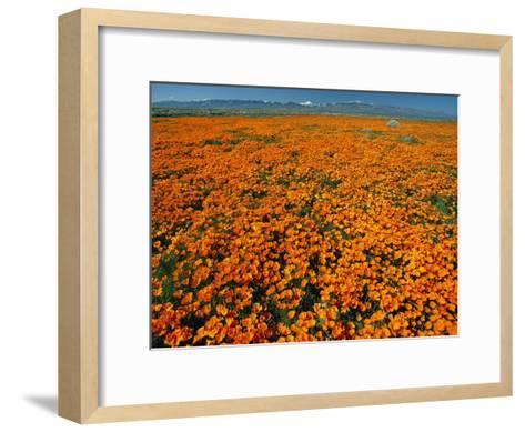 Waves of California Poppies Reach Towards Snow-Covered Mountains-Jonathan Blair-Framed Art Print