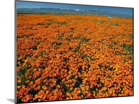 Waves of California Poppies Reach Towards Snow-Covered Mountains-Jonathan Blair-Mounted Photographic Print
