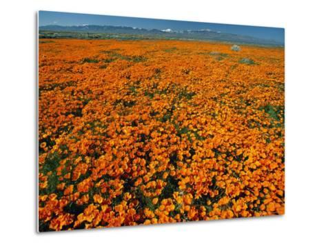 Waves of California Poppies Reach Towards Snow-Covered Mountains-Jonathan Blair-Metal Print