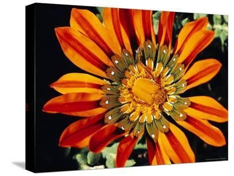 South African Monkey Beetle on a Gazania Flower-Jonathan Blair-Stretched Canvas Print