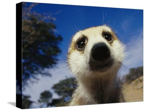 Close View of a Meerkat's Face-Mattias Klum-Stretched Canvas Print