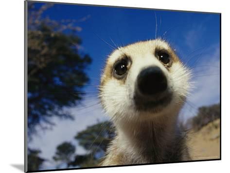 Close View of a Meerkat's Face-Mattias Klum-Mounted Photographic Print