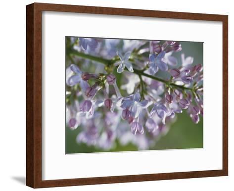 Hyacinthiflora Lilac in Bloom-Darlyne A^ Murawski-Framed Art Print