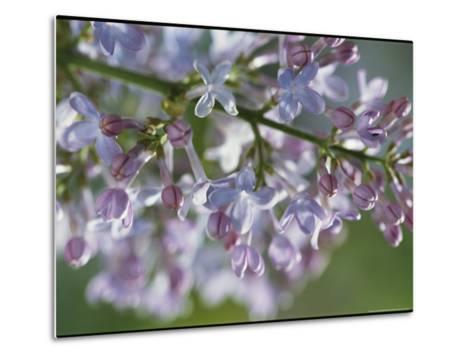 Hyacinthiflora Lilac in Bloom-Darlyne A^ Murawski-Metal Print