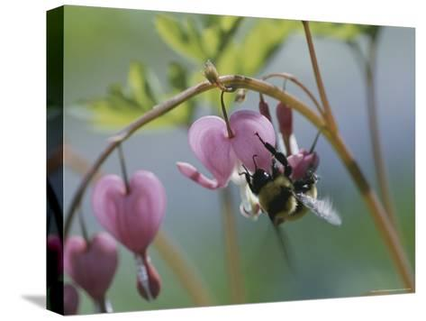 Close View of a Bee on a Bleeding Heart Blossom-Darlyne A^ Murawski-Stretched Canvas Print