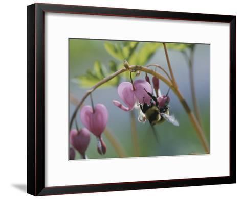 Close View of a Bee on a Bleeding Heart Blossom-Darlyne A^ Murawski-Framed Art Print