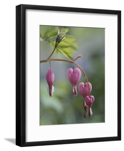 Close View of Bleeding Heart, or Dutchman's Breeches, Flowers-Darlyne A^ Murawski-Framed Art Print