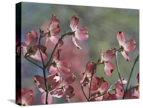 Close View of Pink Dogwood Blossoms-Darlyne A^ Murawski-Stretched Canvas Print