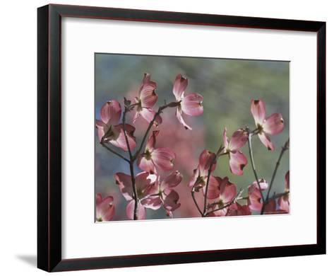Close View of Pink Dogwood Blossoms-Darlyne A^ Murawski-Framed Art Print
