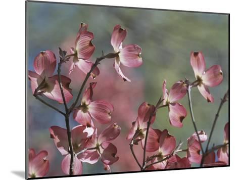 Close View of Pink Dogwood Blossoms-Darlyne A^ Murawski-Mounted Photographic Print