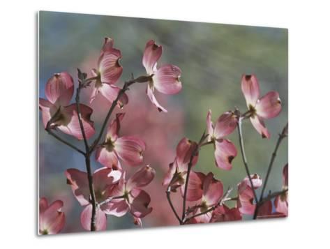 Close View of Pink Dogwood Blossoms-Darlyne A^ Murawski-Metal Print