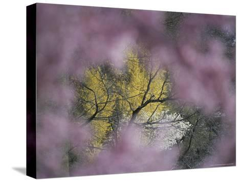 Flowering Forsythia Seen Through a Frame of Cherry Blossoms-Darlyne A^ Murawski-Stretched Canvas Print