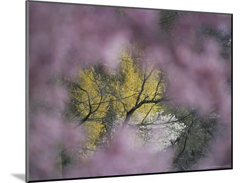 Flowering Forsythia Seen Through a Frame of Cherry Blossoms-Darlyne A^ Murawski-Mounted Photographic Print