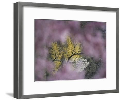Flowering Forsythia Seen Through a Frame of Cherry Blossoms-Darlyne A^ Murawski-Framed Art Print