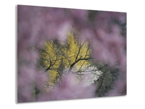 Flowering Forsythia Seen Through a Frame of Cherry Blossoms-Darlyne A^ Murawski-Metal Print