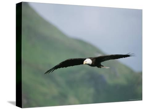 An American Bald Eagle in Flight-Tom Murphy-Stretched Canvas Print