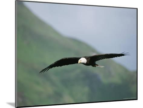 An American Bald Eagle in Flight-Tom Murphy-Mounted Photographic Print