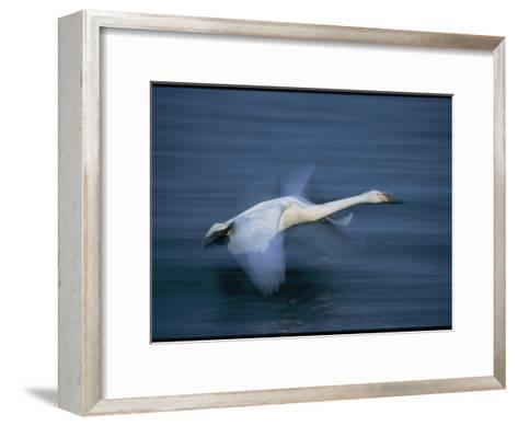 Whooper Swan Flies Low Over Water-Tim Laman-Framed Art Print