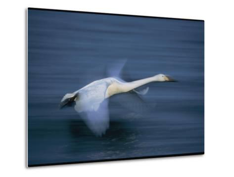 Whooper Swan Flies Low Over Water-Tim Laman-Metal Print