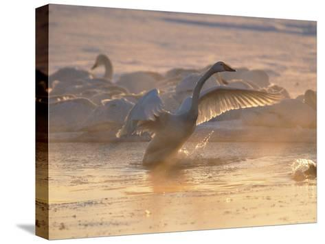 Whooper Swan Flaps Its Wings as It Warms Itself at Sunrise-Tim Laman-Stretched Canvas Print