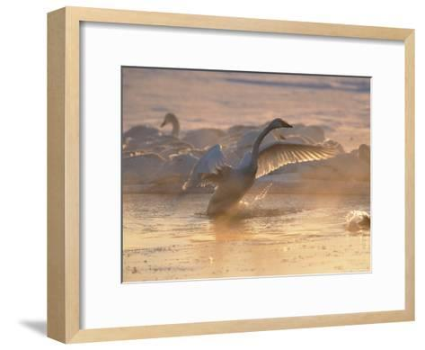 Whooper Swan Flaps Its Wings as It Warms Itself at Sunrise-Tim Laman-Framed Art Print