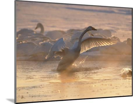 Whooper Swan Flaps Its Wings as It Warms Itself at Sunrise-Tim Laman-Mounted Photographic Print