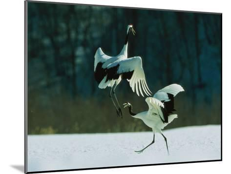 Japanese or Red-Crowned Cranes Engage in a Courtship Display-Tim Laman-Mounted Photographic Print