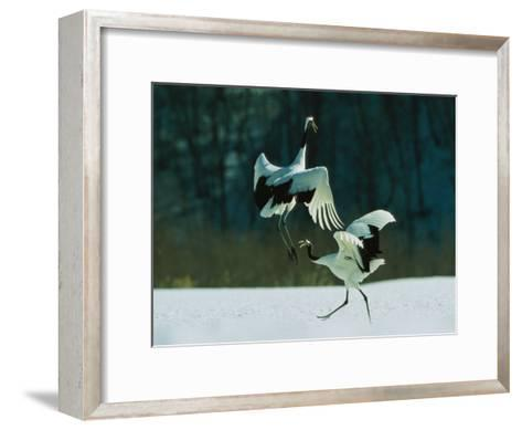 Japanese or Red-Crowned Cranes Engage in a Courtship Display-Tim Laman-Framed Art Print