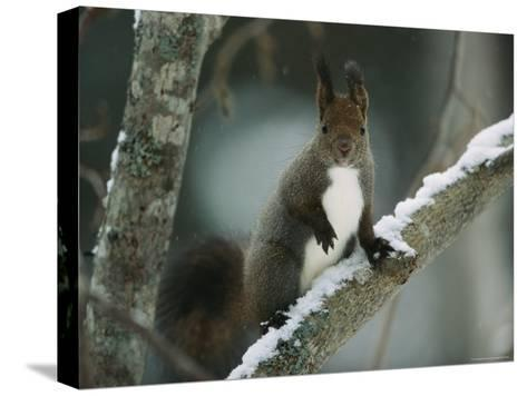 Close View of a Hokkaido Squirrel on a Snow Covered Tree Branch-Tim Laman-Stretched Canvas Print