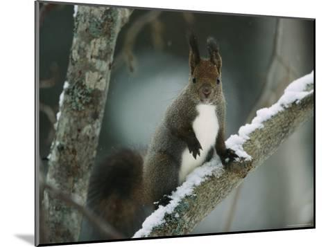Close View of a Hokkaido Squirrel on a Snow Covered Tree Branch-Tim Laman-Mounted Photographic Print