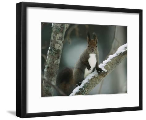 Close View of a Hokkaido Squirrel on a Snow Covered Tree Branch-Tim Laman-Framed Art Print