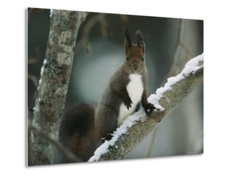 Close View of a Hokkaido Squirrel on a Snow Covered Tree Branch-Tim Laman-Metal Print