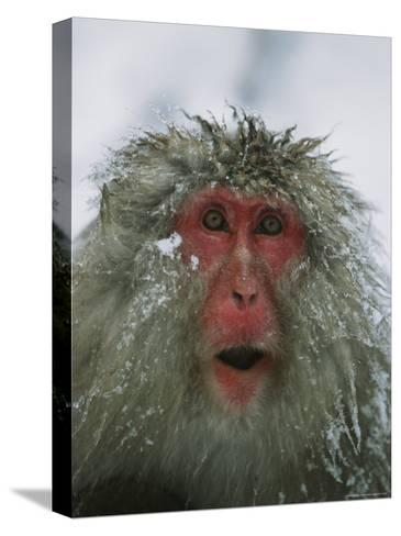Japanese Macaque, or Snow Monkey, with Ice Tipped Fur-Tim Laman-Stretched Canvas Print