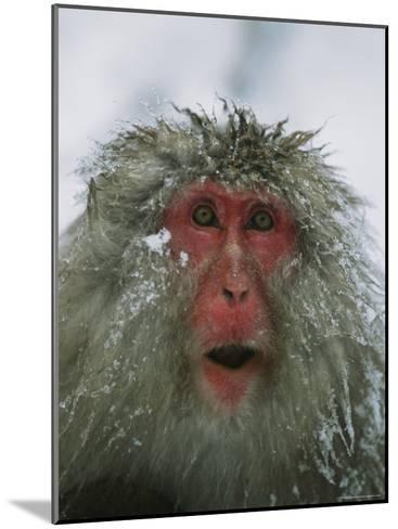 Japanese Macaque, or Snow Monkey, with Ice Tipped Fur-Tim Laman-Mounted Photographic Print