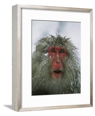 Japanese Macaque, or Snow Monkey, with Ice Tipped Fur-Tim Laman-Framed Art Print