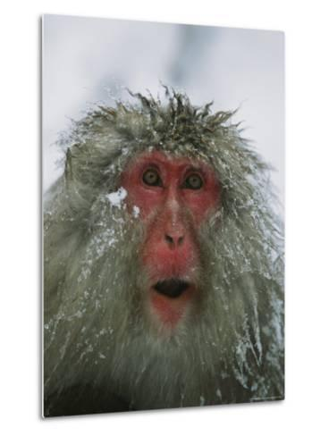 Japanese Macaque, or Snow Monkey, with Ice Tipped Fur-Tim Laman-Metal Print