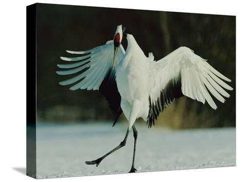 Japanese or Red-Crowned Crane Displays Itself-Tim Laman-Stretched Canvas Print