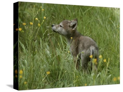 Five-Week-Old Gray Wolf, Canis Lupus, Sniffs at a Wildflower-Jim And Jamie Dutcher-Stretched Canvas Print