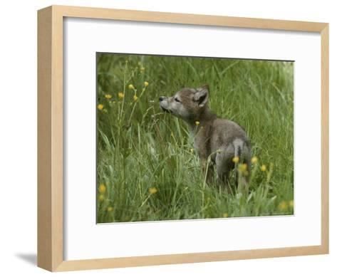 Five-Week-Old Gray Wolf, Canis Lupus, Sniffs at a Wildflower-Jim And Jamie Dutcher-Framed Art Print