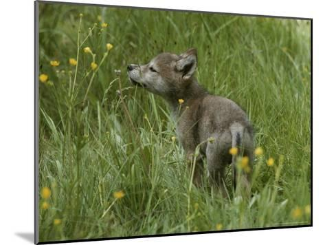Five-Week-Old Gray Wolf, Canis Lupus, Sniffs at a Wildflower-Jim And Jamie Dutcher-Mounted Photographic Print