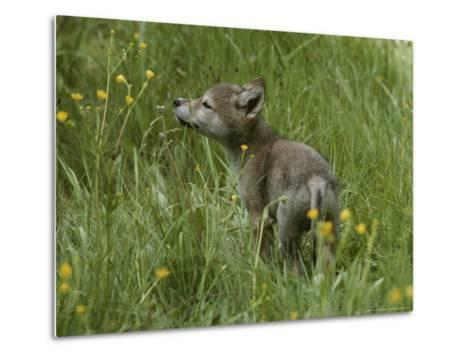 Five-Week-Old Gray Wolf, Canis Lupus, Sniffs at a Wildflower-Jim And Jamie Dutcher-Metal Print