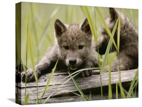 Five-Week-Old Gray Wolf, Canis Lupus, Climbs Over a Fallen Log-Jim And Jamie Dutcher-Stretched Canvas Print
