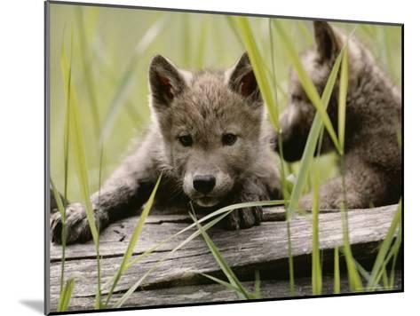 Five-Week-Old Gray Wolf, Canis Lupus, Climbs Over a Fallen Log-Jim And Jamie Dutcher-Mounted Photographic Print