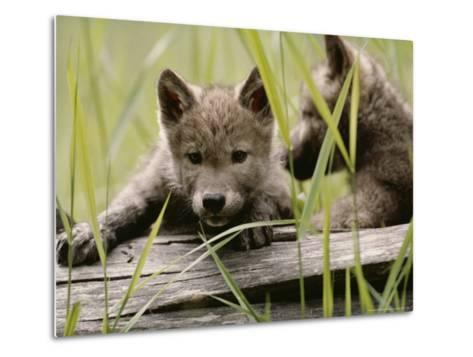 Five-Week-Old Gray Wolf, Canis Lupus, Climbs Over a Fallen Log-Jim And Jamie Dutcher-Metal Print