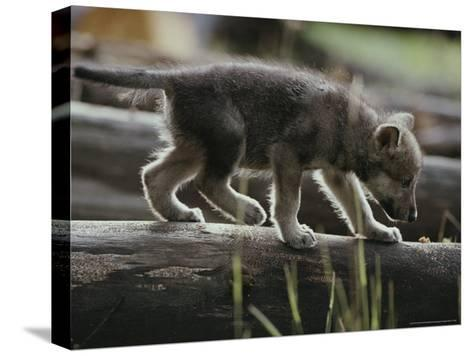 Six-Week-Old Gray Wolf Pup, Canis Lupus, Walks on a Fallen Log-Jim And Jamie Dutcher-Stretched Canvas Print