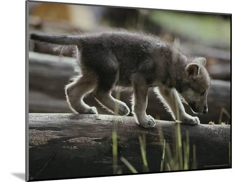 Six-Week-Old Gray Wolf Pup, Canis Lupus, Walks on a Fallen Log-Jim And Jamie Dutcher-Mounted Photographic Print